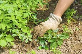 USE OF BIODYNAMIC DISSUADERS AGAINST WEEDS